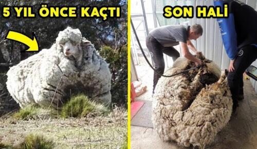 Yıllardır vahşi doğada yaşayan koyun Baarack, 35 kiloluk yükünden kurtuldu
