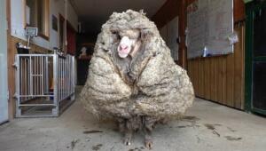 Avustralya'nın güneyinde yer alan Lancefield kentinde 5 yıldır vahşi doğada başıboş gezdiği düşünülen bir koyun bulundu. Hayvan severler tarafından Baarack olarak adlandırılan koyunun kırpılmasıyla üzerinden 35 kilogram ağırlığında yün çıktı.