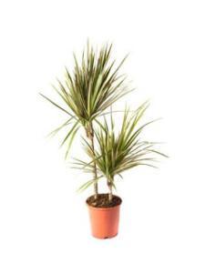Bu ev bitkisinin yukarı yönlü dikenli yaprakları vardır. Direkt olarak güneş ışığından koruyun ve fazla sulamayın. Bitkiyi seveceğinizden şüphemiz yok.