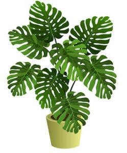 Bitkinin ismi yapraklarının kalp şekli olmasından kaynaklanıyor. Loş ortamlarda kolaylıkla yaşayabilir ve ev içerisinde rahatça bakılabilecek bitkilerdendir.