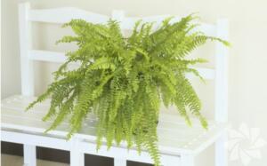 Aşk merdiveni Bol su seven Aşk Merdiveni, aslında bir tür orman bitkisi. Evinizde doğrudan güneş almayan yerlerde bile yetiştirebileceğiniz bu bitki, aşırı sıcak ya da soğuktan korunduğu takdirde uzun yıllar salonunuzu süsleyebilir.