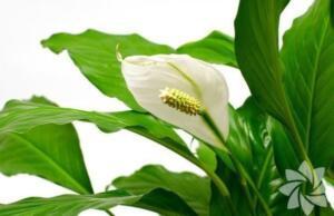 Yelken çiçeği Zarif beyaz çiçekleriyle evde yetiştirmeye en uygun olan bitkilerden biri de Yelken çiçeğidir. Bakımı kolay, neredeyse yaz boyu çiçekli ve ferah bir ev için faydalı...
