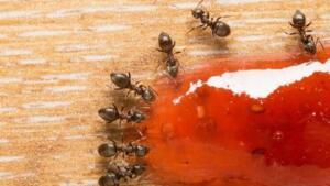 Karıncalar; uyum içerisinde çalışabilen, zeki ve görevleri belli hayvanlardır. Bakıldığı zaman biyolojik olarak ne kadar muazzam oldukları anlaşılabilir. Fakat konu ev ortamına ve karıncaların artmasına geldiği zaman can sıkıcı olabiliyor. Bazen bir karınca ile başlayan nahoş durumlar birden karınca sürüsü ile devam edebiliyor