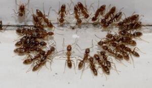Sirke, karıncaların pek hoşlanmadığı bir diğer malzemedir. Ayrıca temizlik yapımında da sirke kullanılabileceği için avantaj sizden yana. Bir şişenin içerisinde sirke, su ve limon suyunu karıştırın. Günde en az bir defa bu karışımı karıncaların geldiği yere sıkın. Bir süre sonra karıncalar uzaklaşacaktır.