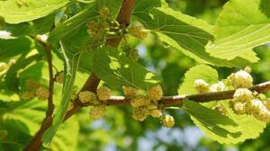 Dut yapraklarının kaynatılarak elde edilen çayı bir çok hastalığın tedavisinde kullanılır. Dut yaprağı çayının yapılması dışında da çeşitli kullanım alanları bulunuyor. Bunlara bir göz atalım. Dut Yaprağının Faydaları Hakkında? Dut meyvesinin ateş düşürmedeki rolü herkes tarafından bilinir. Aynı özelliği dut yaprağında da bulunmaktadır. Dut yaprağı kalp sağlığını olumlu yönde etkileyen maddeler barındıran bir yapraktır. Kalp hastalıkları için alıç yaprağı ile birlikte kullanılması tavsiye edilir.
