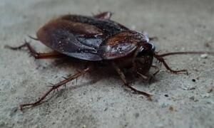 Evinizden çıkmayan inatçı böceklerinden kurtulmak için bu karışımı hazırlamalı ve 4-5 gün üst üste uygulamalısınız. Ardından böceklerin kaçtığını ve yok olduğunu göreceksiniz. Özellikle hamam böceği görünümü ve hareketleri nedeniyle oldukça ürkütücü ve tiksindirici bir haşeredir. Birçok kişi karşı karşıya gelmekten bile korkarken kimileri de düşünmeye dahi dayanamaz. Tüm bunların yanında kimse evinden sürekli olarak üreyen hamam böceği ailesinden birey görmek istemez.