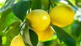 Kadıncağız komşusuna gidip vaktiyle başından geçen hadiseyi anlatır. Kendisinden özür diler, hakkını helal etmesini ister. Komşusu da bu duruma çok üzülür. Neden o zaman limon istemediğini; değil bir limonun ağaçta bulunan bütün limonların ona feda olmasını belirten komşu hakkını helaleder. O zaman Allahü Tealanın izniyle çocukları da bu garip hareketlerinden vazgeçer.