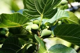 İncir Yaprakları Çayı: Üç incir yaprağını yarım litre suya koyun ve 15 dakika kaynatın. Suyu süzerek İçme suyu olarak kullanın, bir ay içinde sonuçları görmeye başlayacaksınız.
