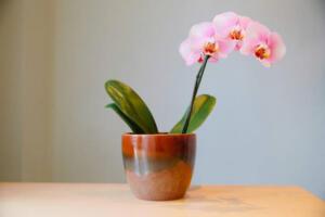 Evinizde çiçek açmış bir orkidenin olması saf güzellikte bir şeydir. Pek çok insan, bir uzmana ihtiyaç duyduğunu düşündüğü için orkide büyütmekten çekiniyor. Ancak, orkideleri canlandırmaya ve tekrar çiçeklenmelerine yardımcı olan çok kullanışlı bir ipucu keşfettik.