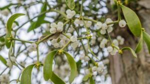 MAYDANOZ Maydanoz, Avrupa ve Orta Doğu mutfağında meşhur bir bitkidir. Yüksek tansiyonunuzu düşürmeye yardımcı olan C vitamini ve karotenoidler gibi çeşitli bileşikler içerir. Maydanoz, iştahı artırmaya, sindirimi iyileştirmeye, idrar üretimini artırmaya ve spazmları azaltmaya yardımcı olabilir. Özellikle idrar söktürücü etkisi nedeniyle, maydanozun yüksek tansiyonu kontrol etmeye yardımcı olduğu düşünülmektedir. Maydanozu garnitür, çeşni, yiyecek ve tatlandırıcı olarak kolayca diyetinize dahil edebilirsiniz.