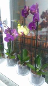 Bu çok basit yöntem ile orkideleriniz çok daha mutlu olacak. Kendiniz denemekten çekinmeyin ve uygulamanızın nasıl geçtiğini bizimle paylaşın. Arkadaşlarına paylaşarak yardımcı olabilirsin. Sana teşekkür edecekleri kesin!