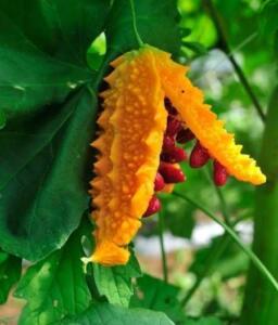 Mi'de ülserine karşı çok iyi ilâc, iki (Kudret narı) doğranıp, şişedeki bir kilo zeytin yağına konur. Şişe, güneşde bırakılır. Birkaç hafta sonra, sabâhları aç iken, bir çorba kaşığı içirilip, bir sâat hareketsiz sırt üstü yatılır. Kudret narı, [Momardika Charantia, Bolsanaple] sarmaşık olup, çiçekleri küçük sarı, yaprakları çınar ağacının yaprağı gibidir. Meyvesi, üstü çıkıntılı, yeşil hıyâr gibidir. İçi beyâz ise de, kesilince, kırmızı olur. Kırmızı çekirdekleri saklanıp, Mayısda dikilir. Bu yağ, bâsur için de içilir. Derideki yaralara da sürülür.)