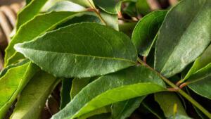 Saçınız için Hindistan cevizi yağı ile karıştırılmış bir ekstrakt olarak köri yapraklarını kullanabilirsiniz. Köri yapraklarını ezerek toz haline getirdikten sonra Hindistan cevizi yağıyla karıştırabilirsiniz.