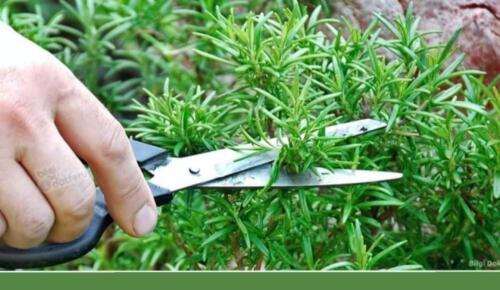 Koklandığında Zekâyı Geliştiren Bitki – Bu Bitkiyi Koklamak Hafızayı %75 Oranında Güçlendiriyor