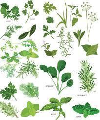 Kist eriten şifalı bitkiler arasında yer alan sinirli yaprak karışımı birçok konuda fayda sağlar. Hazırlanışı: 4 yaprak sinirlik yaprak, 2 bardak suyun içerisine konularak 10 dakika boyunca kaynatılır. Kaynatırken kısık ateşte olmasına dikkat edilmelidir. Bu karışım günde 2 kez içilir ise kistler ile mücadele kapsamında fayda sağlayacaktır. Bu karışımın diğer etkili olduğu konu ise yaralara iyi gelme özelliğidir. Bu karışımı hem yemek, hem salata hem de su şeklinde yapabilirsiniz ve haftada 3-5 kez tüketimini gerçekleştirirseniz etkisi çok daha fazla olacaktır. Bu karışım idrar söktürme ve en bağırsak temizliği konusunda da başarılıdır.